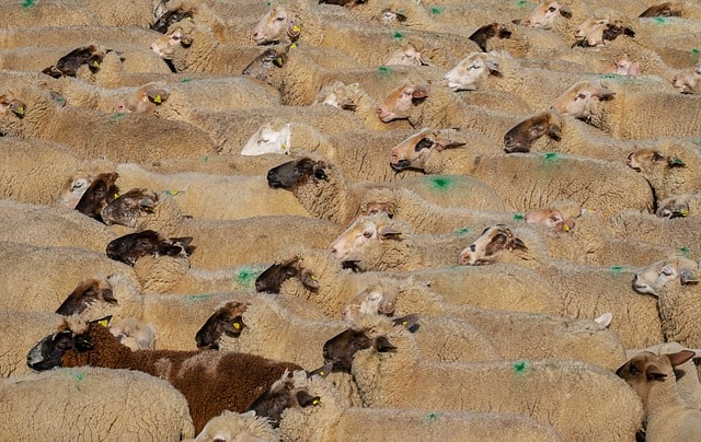 sheep-