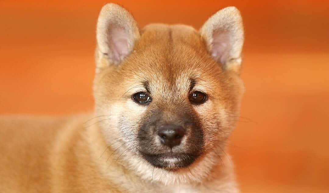 Shiba Inu Puppy. Source: TrendingBreeds